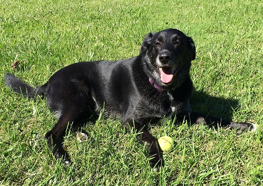 Retired Therapy Dog Bert