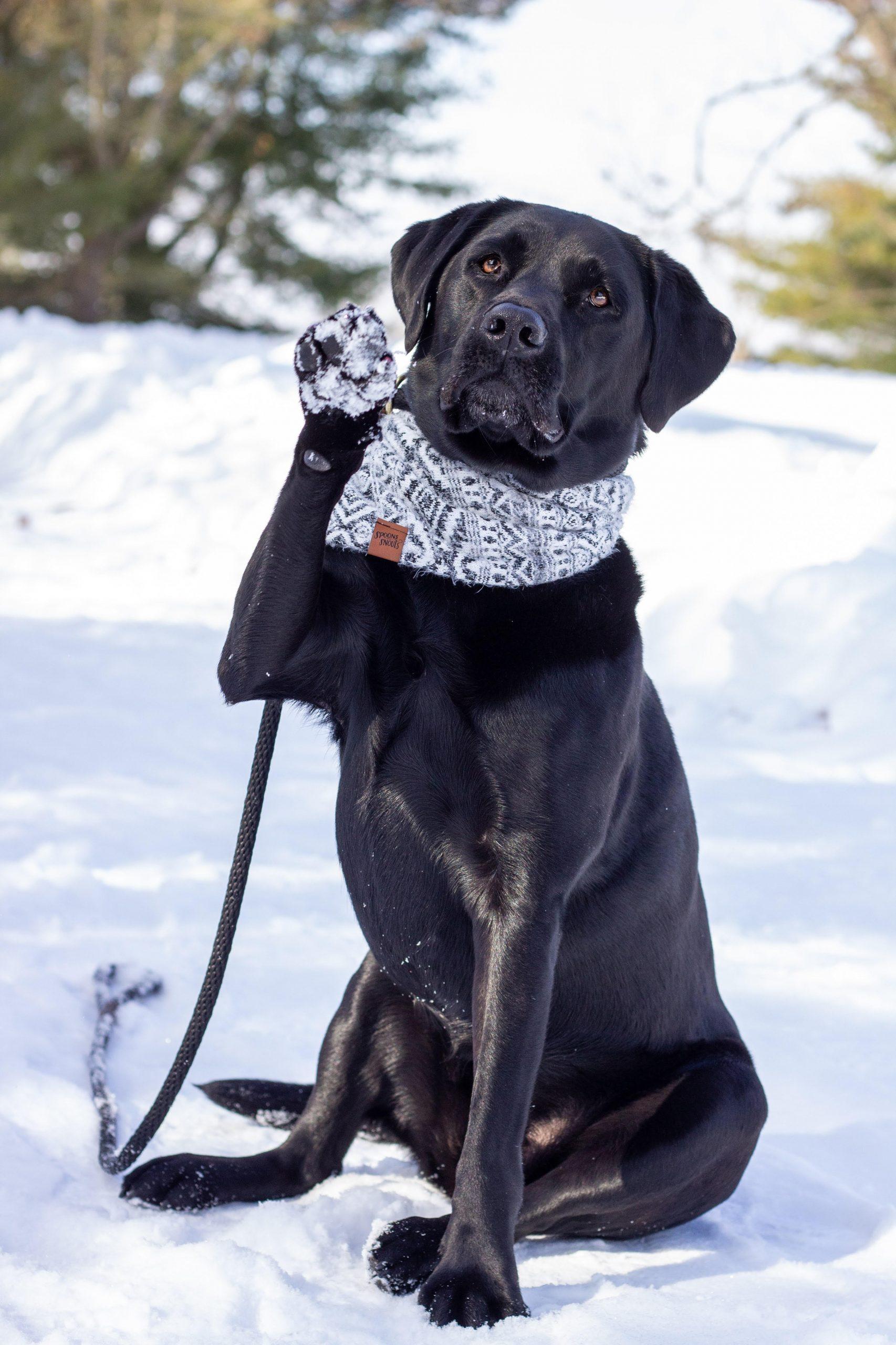 Retired Therapy Dog Koda