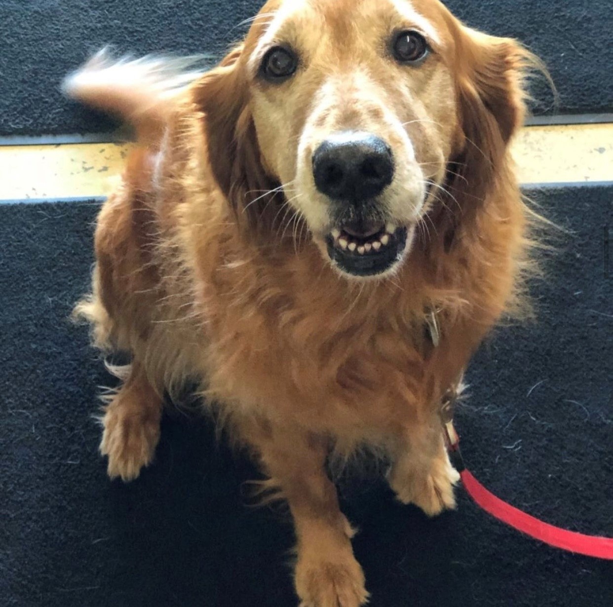 Retired Therapy Dog Rosie